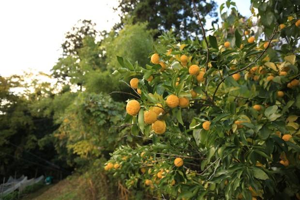 敷地内の果樹。ベンさんの料理に生かされる。