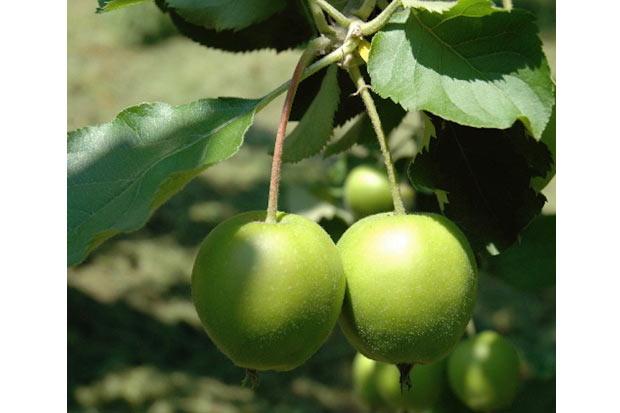 若くて青い「未熟りんご」の実。小さなりんごに大きな力があることを教えてくれます。