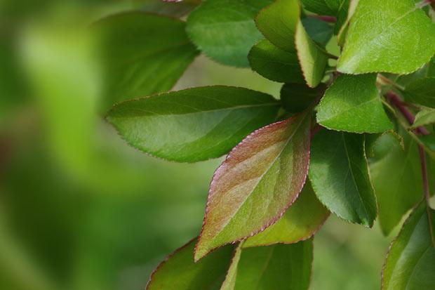 〈湖北海棠〉の葉。 将来的には栽培方法を確立し、〈ふじ〉や〈ジョナゴールド〉などの葉のお茶も商品化したいと考えています。