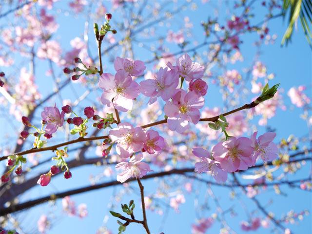 我が家の庭の河津桜