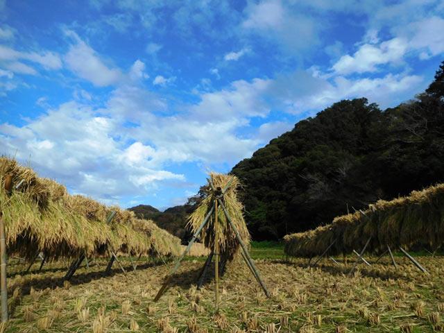 稲を天日干し