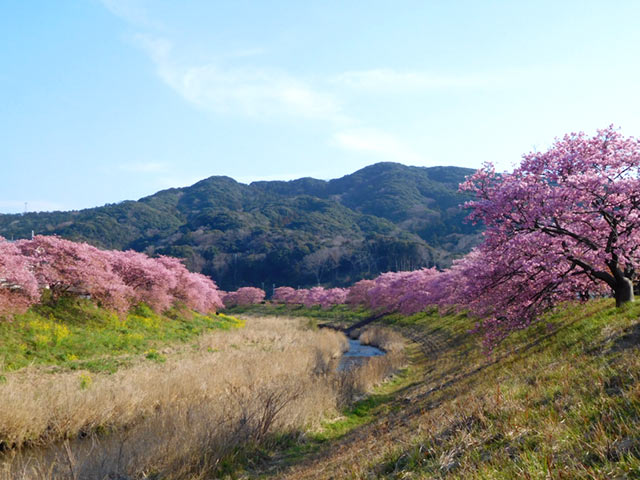 南伊豆町の桜並木