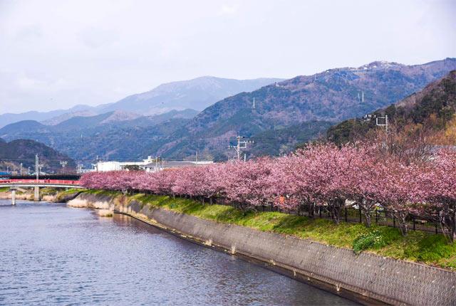 川ぞいに咲いた河津桜
