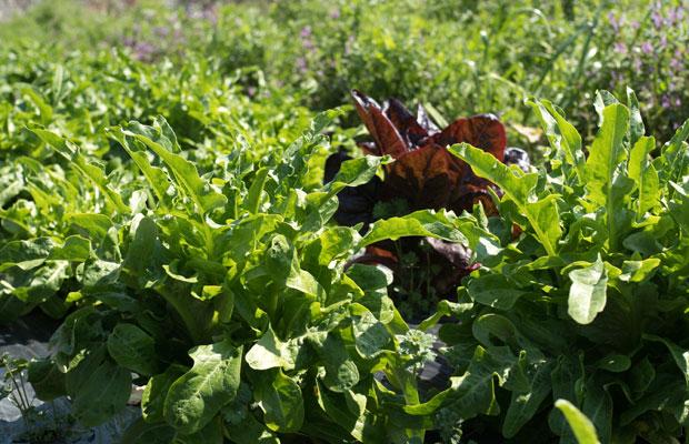 葉の形が特徴的なカナリーノレタス! 畑では収穫を待ってる野菜がたくさんあります。