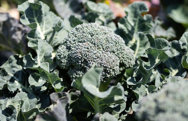 春採りのブロッコリー! 日々収穫できる野菜が変わっていきます。