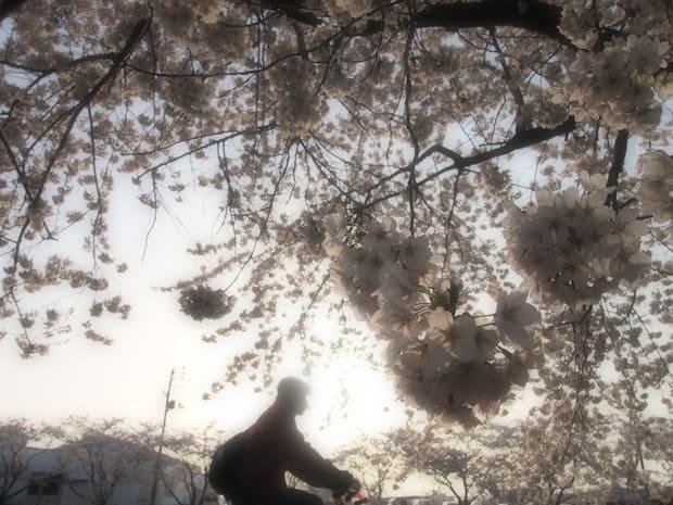まちなかは桜が満開。