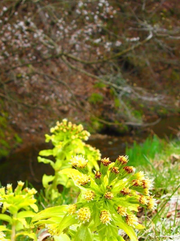 山から湧き出る清水と、バッケ(蕗の薹)が顔を覗かせ、桜のつぼみが静かに揺れて、いまという時間を忘れさせてくれます。