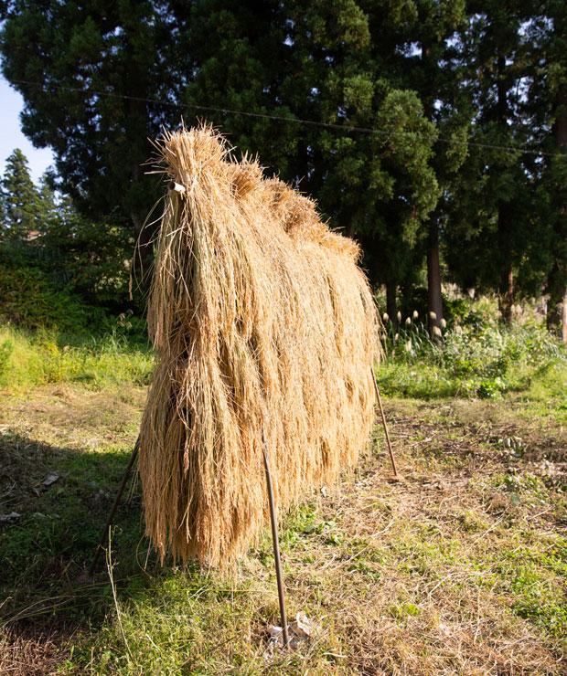 周りにある畑で米や野菜を栽培。時季によっては宿泊者が農業体験もできる。刈った稲を干す、はぜ掛けの様子。