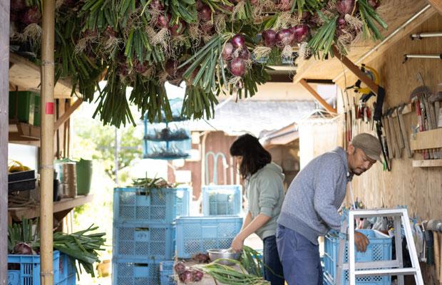 大量に収穫した赤玉ねぎを干す仕事。カフェが休みでもやることはいっぱい。