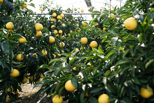 温暖な気候を生かして果樹の生産が盛んな宮崎。