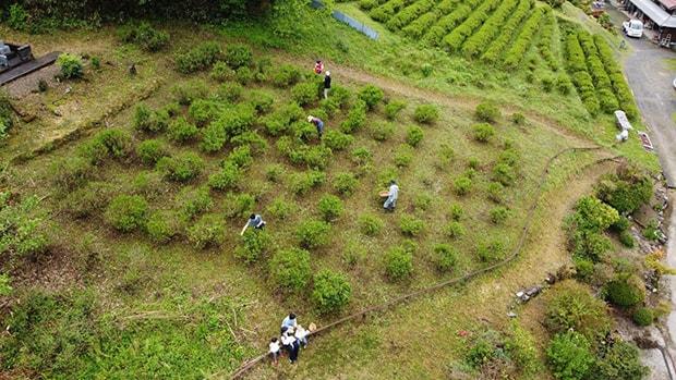 今年の茶摘み風景。感染予防を行い地域の人たちで収穫した。(撮影:糟谷直輔)