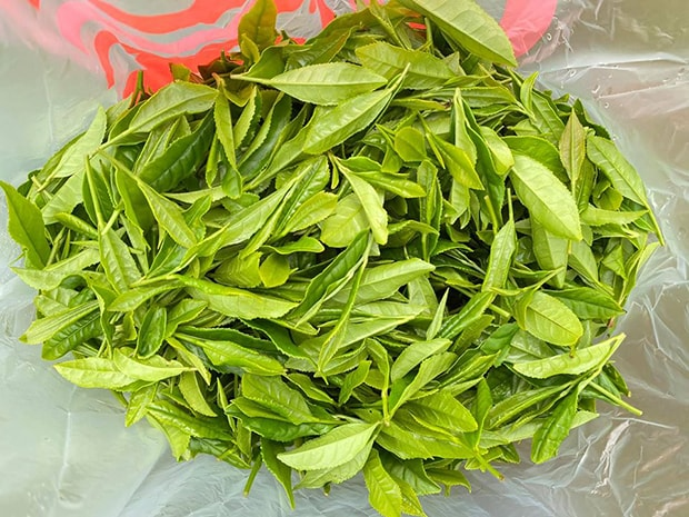 みずみずしい摘みたての新茶葉。(撮影:糟谷直輔)