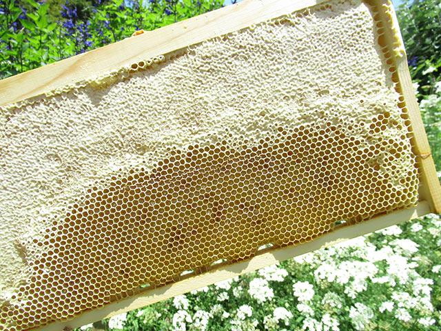 巣枠に溜まった蜜