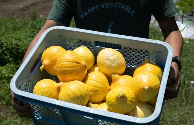 今年も豊作のコリンキー(生で食べられるかぼちゃ)。この鮮やかな黄色が夏を感じさせてくれる。