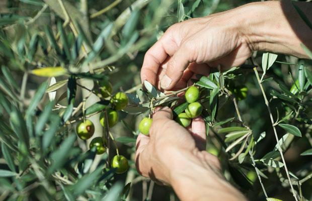 ひと粒ひと粒、手で収穫されるオリーブ。これも島の風景。