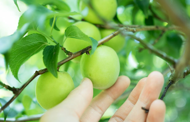 今年は梅がほんとに少なくて、収穫もひと苦労。