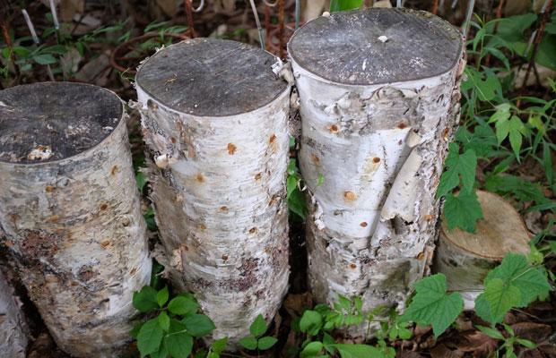 シラカバをホダ木にして、キノコの栽培も始めたそう!