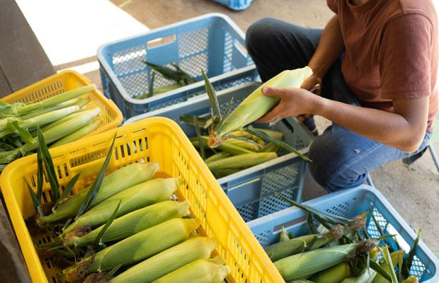 きれいなトウモロコシをかごいっぱいに収穫できたのは今年が初めて。