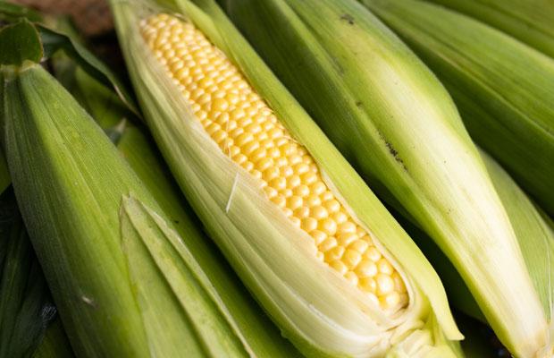 ピカピカのトウモロコシ。採れたてのトウモロコシは甘くてほんとうにおいしい。