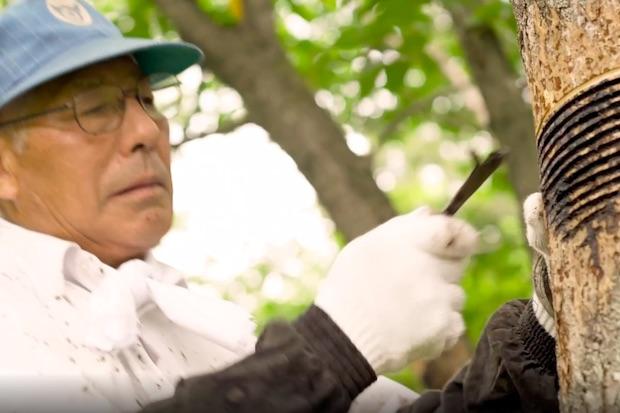 浄法寺での漆掻きの様子(画像:『ほんものにっぽんにのへ』ウェブサイト内動画より)。