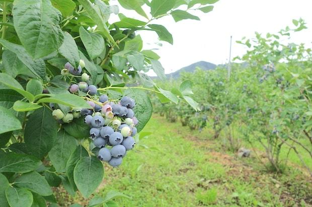 おぼない旅館から徒歩圏内にあるブルーベリー農園。朝晩の寒暖差が激しく、ミネラル豊富な土壌の二戸は果物栽培に適した土地。甘いブルーベリーは、おぼない旅館でも朝食で提供されます。