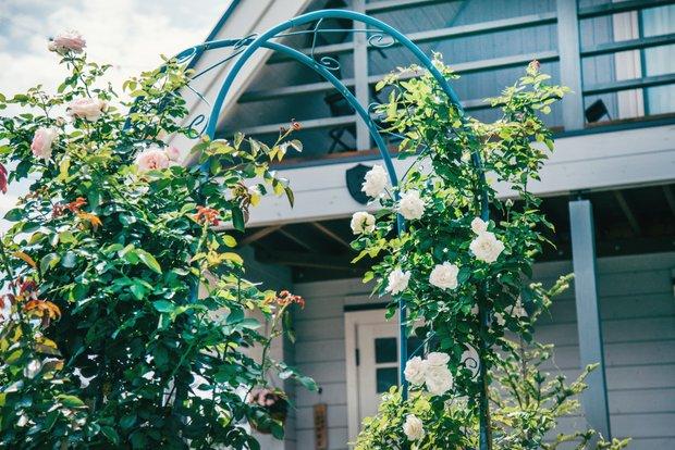 本来バラの開花時期は4〜6月。8月初旬、取材の日にガーデンアーチのバラが返り咲いた。