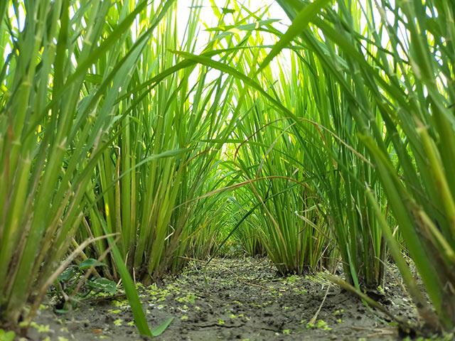 「中干し」中の稲