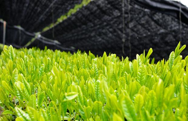 〈豊好園〉では品評会に出品するお茶から、ほうじ茶、茎茶、紅茶まで手がけている。(写真提供:豊好園)