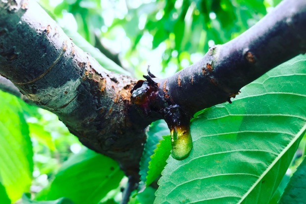 サクランボの旬は7月。収穫後、実に栄養を送る役目を終えた枝からは樹液が滴るほど。