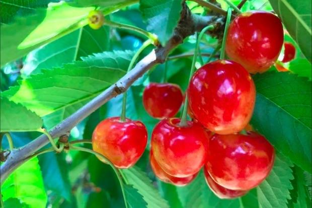 南部町は青森県内一のサクランボの生産地。桃や梨、ぶどうの栽培なども盛んです。