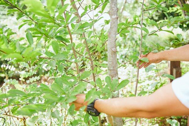 学生時代の「実生クラブ」(実生:種から芽を出して生長すること)で種から育てて20年余り、背丈を越えたコブシの木。とくに愛着のある植木のひとつだ。