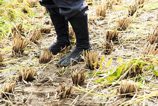 稲刈り後の田んぼ。足元は地下足袋
