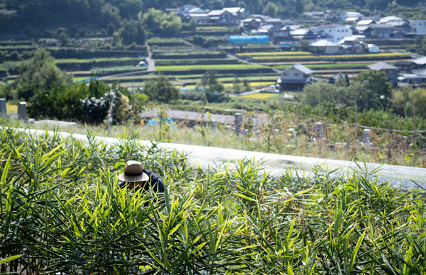 草を抜いて、大きくなった生姜に土をかぶせて、日々手入れ。