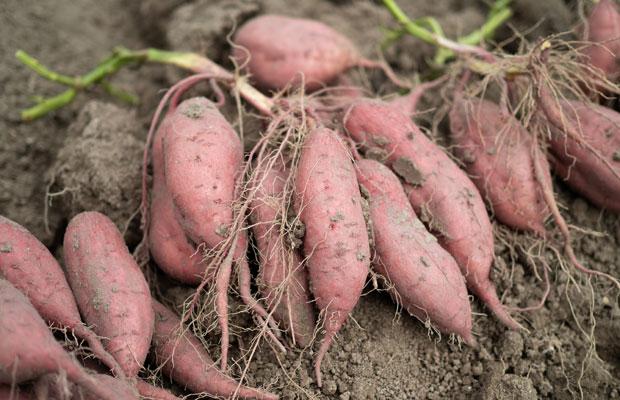 掘りたての安納芋。さつまいもは収穫してからしばらく保管し、追熟します(甘みが増す!)。