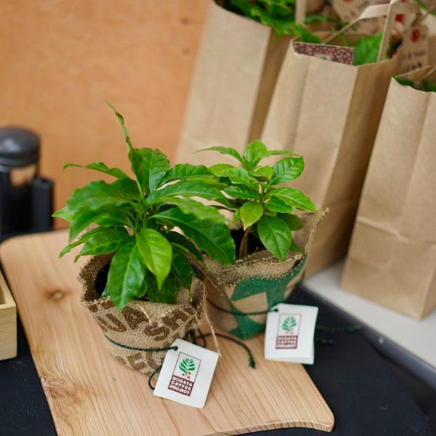 コーヒーノキの苗木。これを機に緑に親しんでほしいと倉重さん。(写真提供:にいがたコーヒープロジェクト)