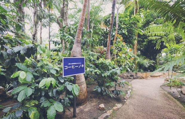 植物園では昨年度、熱帯植物ドームの改修に伴い、14本のコーヒーノキを植えた。