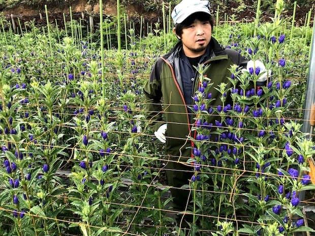 岩手県が出荷量日本一(平成30年)のリンドウは冷涼気候な衣川でも多く生産されています。