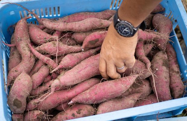 〈紅はるか〉という品種のさつまいも。今年は5種類のさつまいもを収穫。
