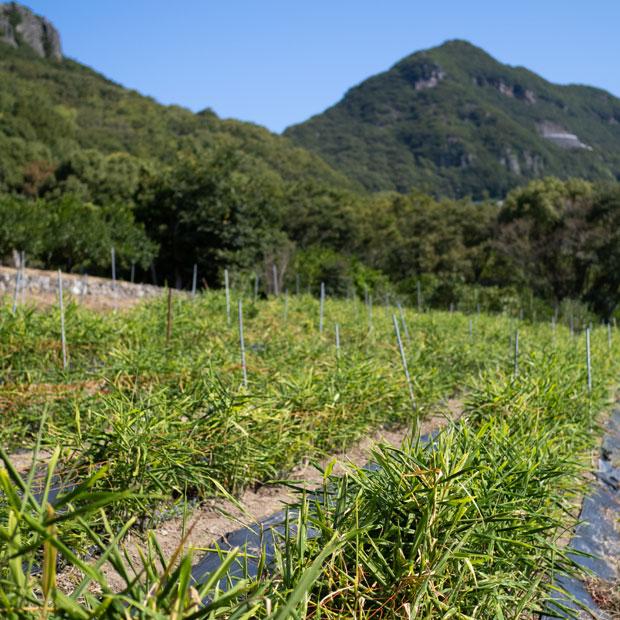 生い茂った生姜の葉っぱ。この茎の下で生姜が育ってます。
