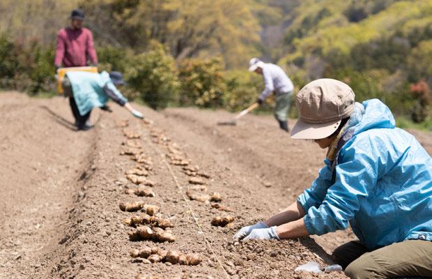 今年の4月、生姜の植えつけ。親生姜を並べていきます。
