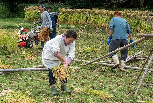 刈り取った稲を縛る