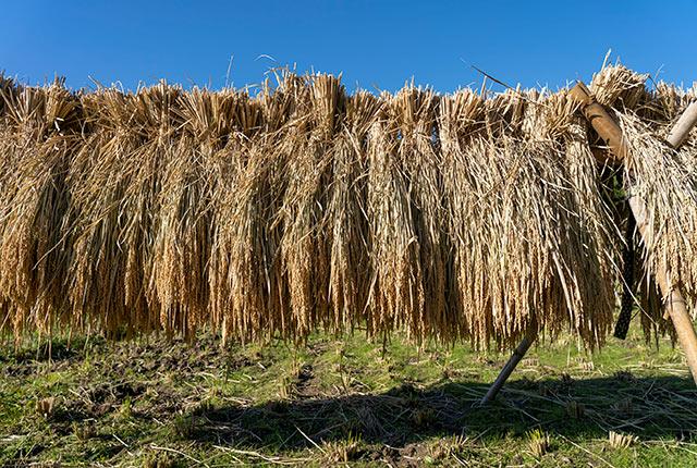 稲架で干された稲