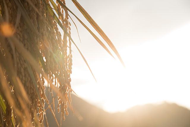 夕日に輝く稲穂
