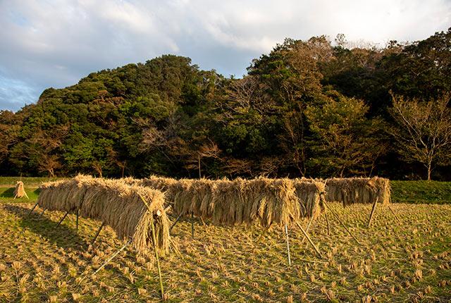 天日干しにした稲