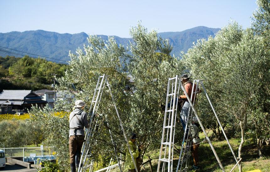 「オリーブの島」小豆島で、秋のオリーブ収穫!