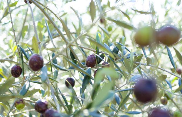10月頃に赤紫色に色づくオリーブの実。