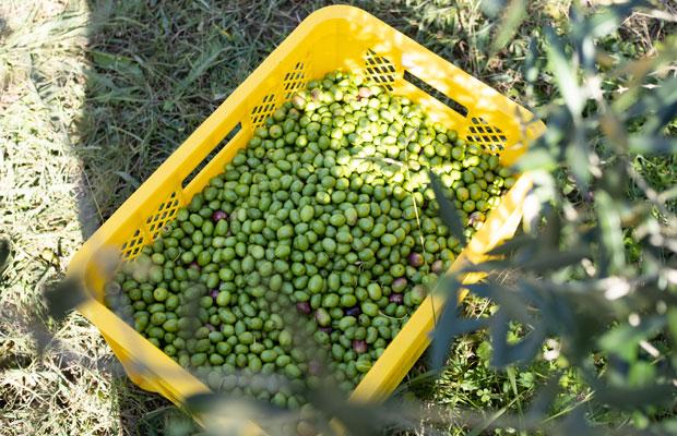小豆島では小さなオリーブ畑が多く、オリーブの実をひと粒ずつ手で摘む農家さんが多い。