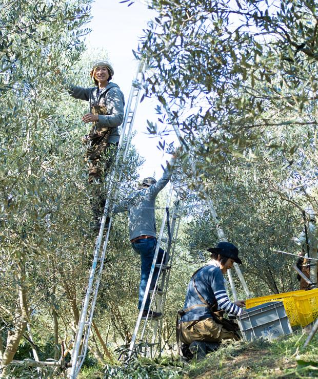 オリーブ収穫する高野夫妻。