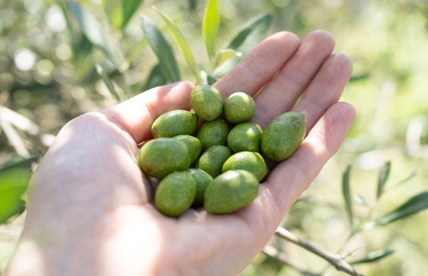 熟す前に収穫した緑色のオリーブの実。オイルにすると辛みが強くフレッシュな香り。