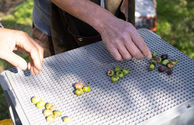 高温多湿の日本では、オリーブが炭そ病になりやすい。炭そ病のオリーブの実が入ってしまうとオイルがおいしくなくなってしまうので混じらないようにします。